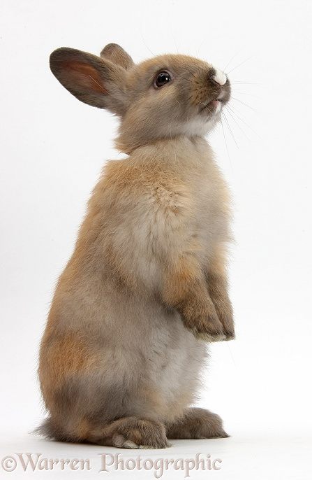 Baby brown rabbit standing up, white background