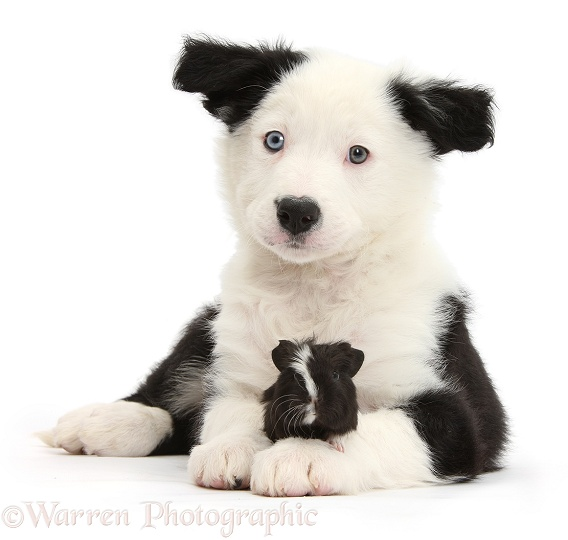Black-and-white Border Collie pup and Guinea pig, white background