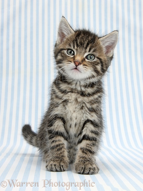 Cute tabby kitten, Fosset, 6 weeks old, sitting on blue stripy background