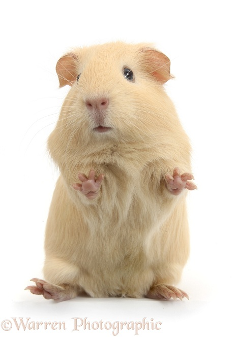 Yellow Guinea pig standing up, white background
