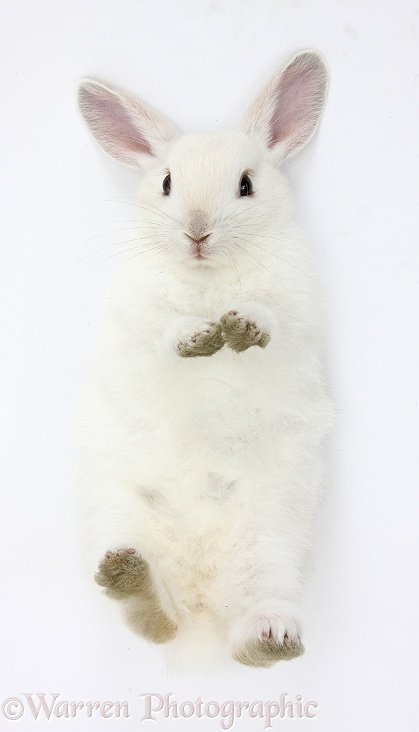 White bunny lying on his back, white background