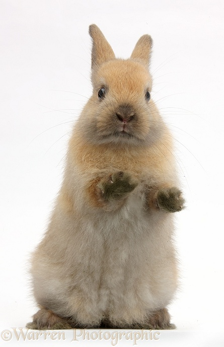 Brown bunny standing up, white background