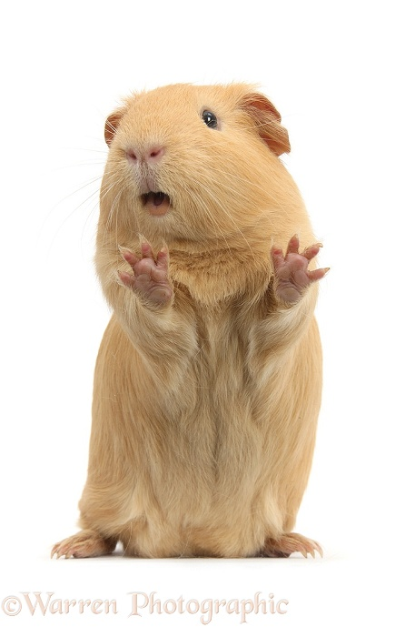 Yellow Guinea pig standing up and squeaking, white background