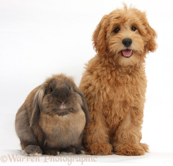 Cute red toy Goldendoodle puppy, Flicker, 12 weeks old, sitting with Lionhead Lop rabbit, Dibdab, white background