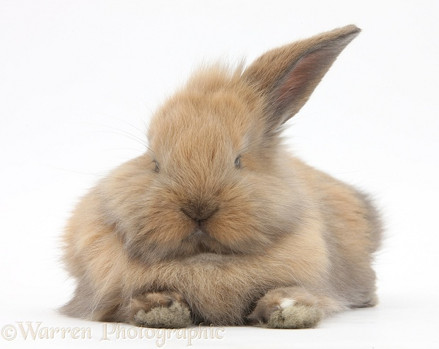 Brown baby Lionhead-cross rabbit lying stretched out, white background