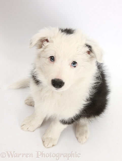 Black-and-white Border Collie bitch pup, Ice, 9 weeks old, sitting and looking up, white background