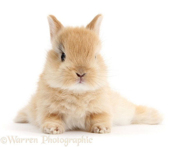 Baby sandy Netherland Dwarf rabbit, white background