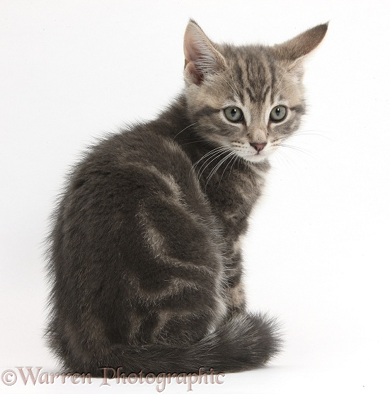 Tabby kitten, Max, 9 weeks old, looking over his shoulder, white background