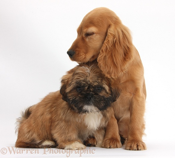 Brown Shih-tzu pup and golden Cocker Spaniel pup, Maizy, white background