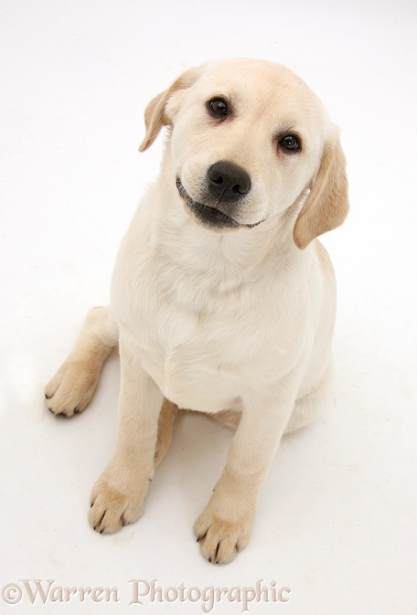 Yellow Labrador Retriever pup, 4 months old, sitting and looking up, white background
