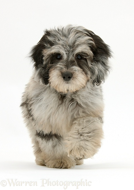 Fluffy black-and-grey Daxie-doodle pup, Pebbles, trotting forward, white background