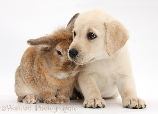 Benji the Labrador Retriever  Puppies  Daily Puppy