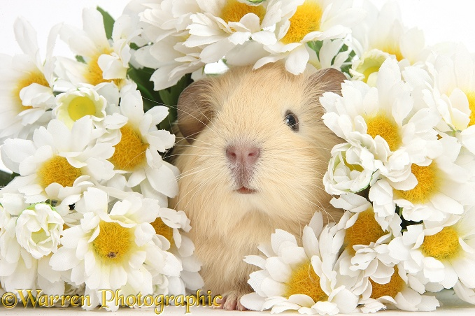 Cute baby yellow Guinea pig among daisy flowers, white background