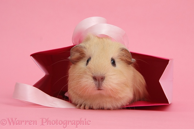 Baby yellow Guinea pig in pink gift bag on pink background