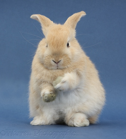 Young sandy rabbit about to groom on blue background