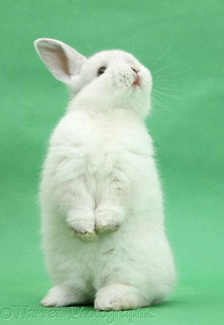 White rabbit standing up on green background