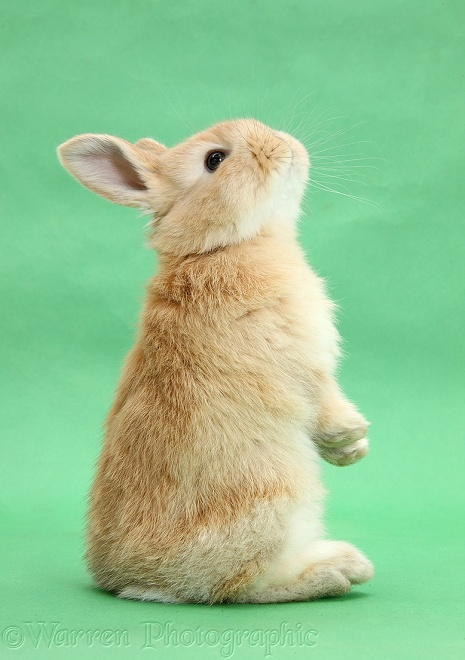 Young sandy bunny standing up on green background