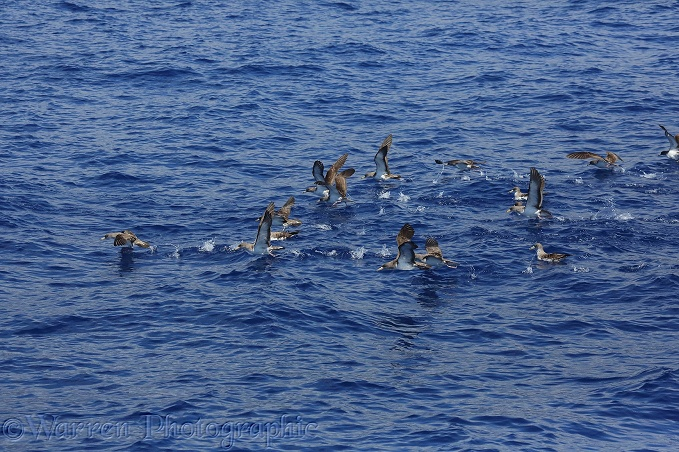 Cory's Shearwaters (Calonectris diomedea) taking off from the water's surface