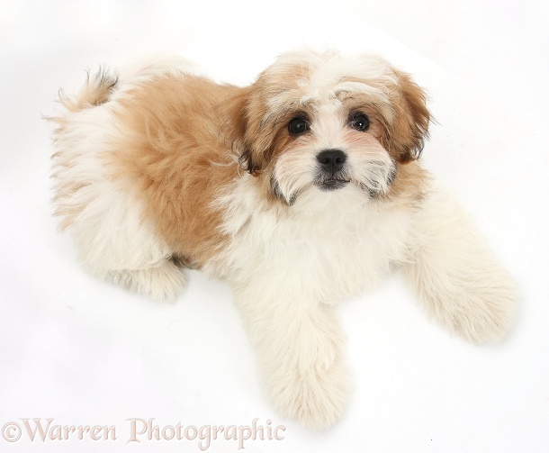 Maltese x Shih-tzu pup, Leo, 13 weeks old, lying and looking up, white background