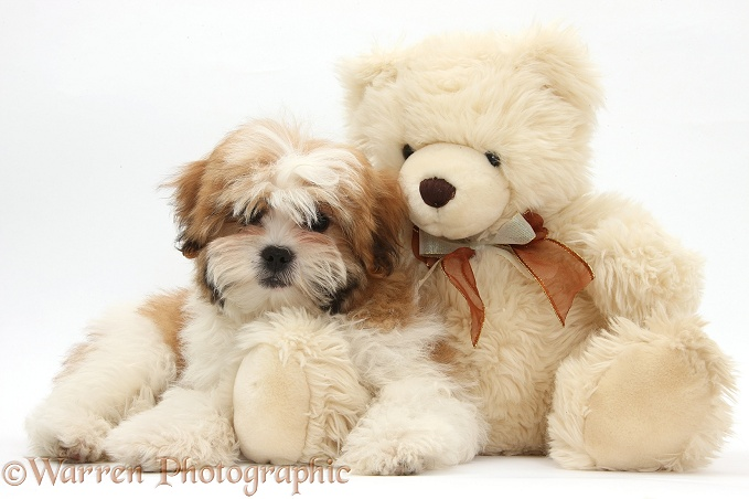 WP39060 Maltese x Shih-tzu pup, Leo , 13 weeks old, with a teddy bear.
