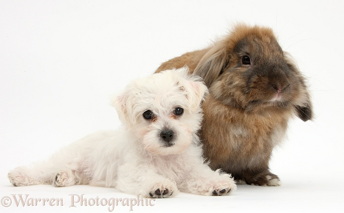 Cute white Bichon Frise x Yorkshire Terrier dog puppy, Georgie, 8 weeks old, lying with Lionhead-Lop rabbit, Dibdab, white background
