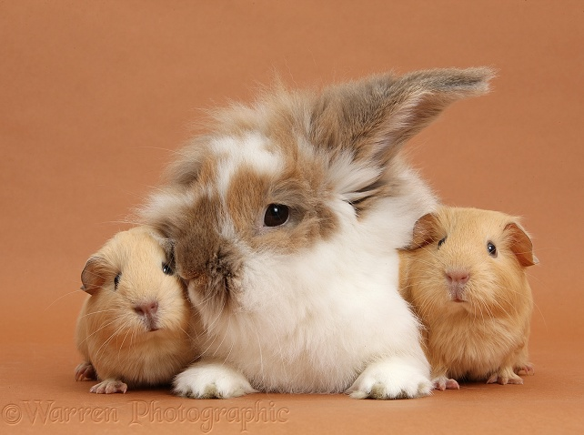 Brown-and-white rabbit and baby yellow Guinea pigs on brown background