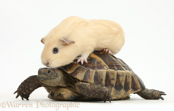 Young yellow Guinea pig riding on a tortoise, white background