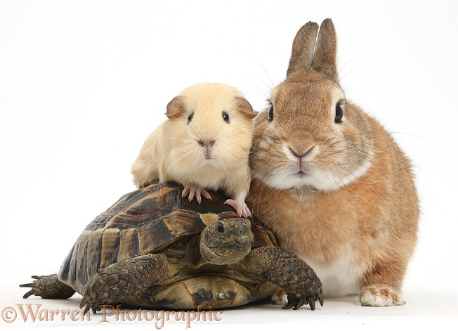 Netherland Dwarf-cross rabbit, Peter, with a tortoise and yellow Guinea pig, white background
