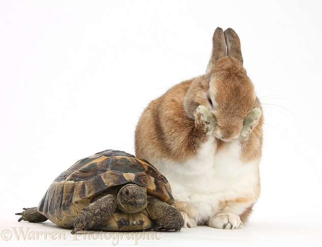 Netherland Dwarf-cross rabbit, Peter, with a tortoise, white background