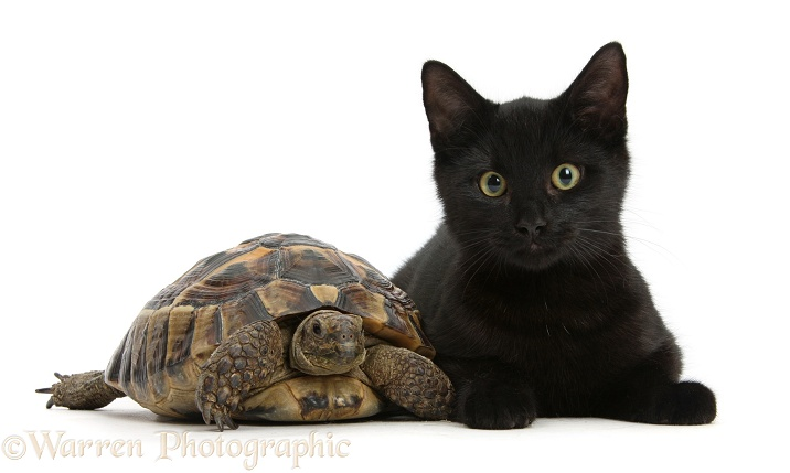 Black cat with a tortoise, white background