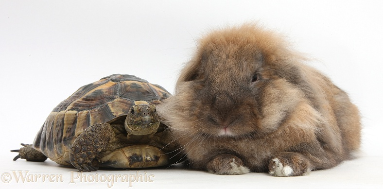 Lionhead Lop rabbit, Dibdab, with a tortoise, white background