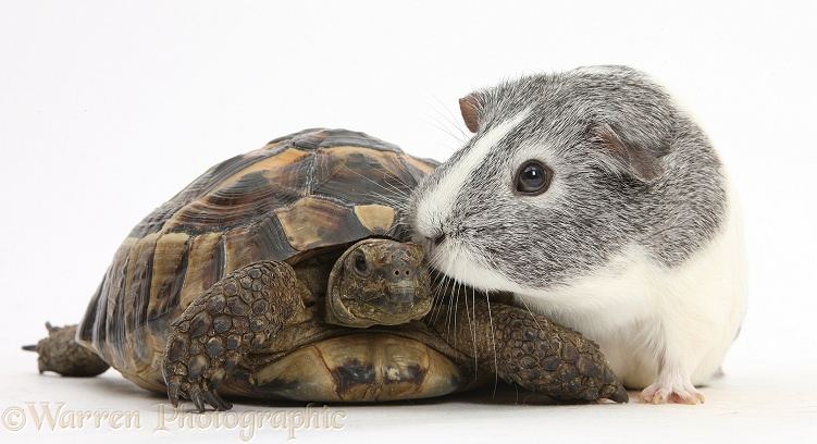Guinea pig with a tortoise, white background