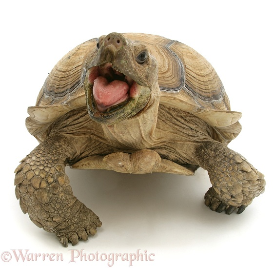 African Giant Tortoise (Testudo sulcata) with mouth agape, white background