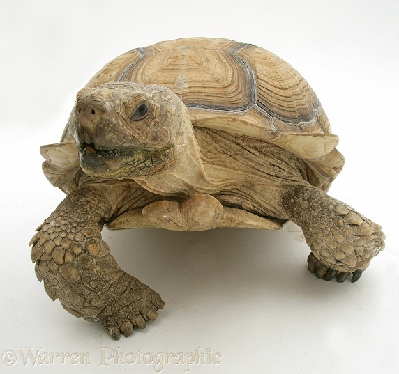 African Giant Tortoise (Testudo sulcata) portrait, white background