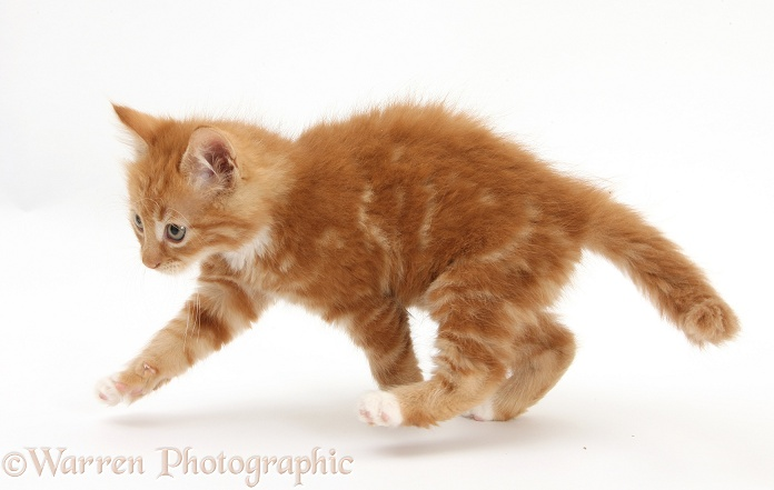 Ginger kitten, Butch, 8 weeks old, running, white background