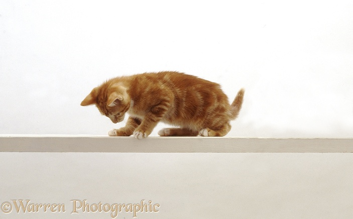 Ginger cat looking down from a high narrow shelf, white background
