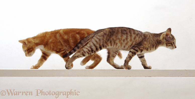 Two cats walking along a high narrow beam, white background