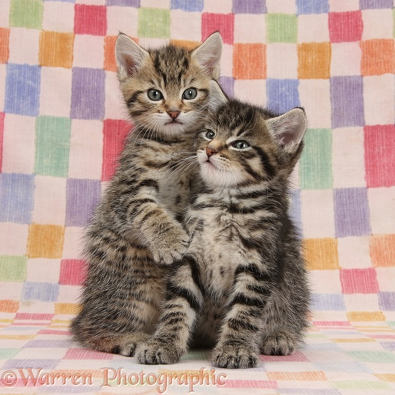 Two cute cuddly tabby kittens, Stanley and Fosset, 6 weeks old, snuggled up on chequered background