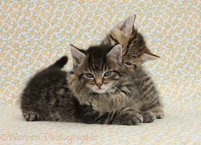 Two cute tabby kittens, Stanley and Fosset, 6 weeks old, on flowery background. Stanley hugging Fosset