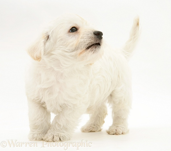 Woodle (West Highland White Terrier x Poodle) pup standing, white background