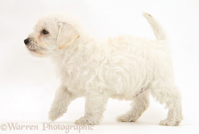 Woodle (West Highland White Terrier x Poodle) pup walking across, white background
