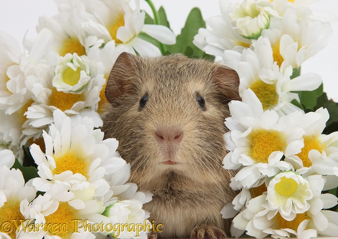 Cute baby agouti Guinea pig among daisy flowers, white background
