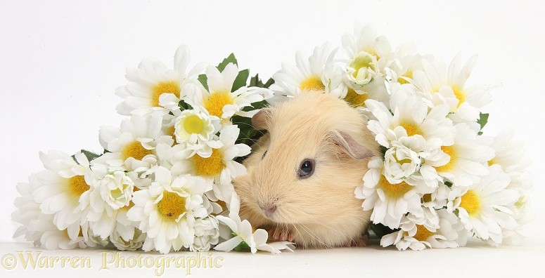 Cute baby Guinea pig hiding in a bunch of daisy flowers, white background