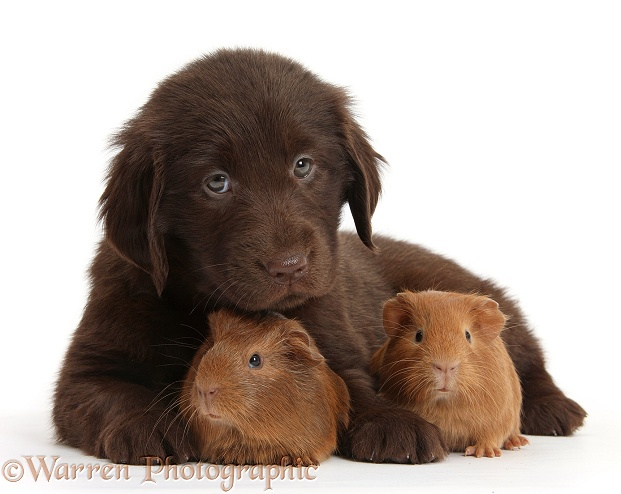 Liver Flatcoated Retriever puppy, 6 weeks old, with two baby Guinea pigs, white background