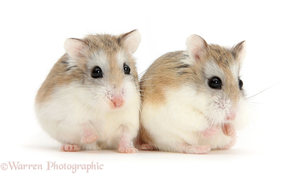 Two Roborovski Hamsters (Phodopus roborovskii), white background