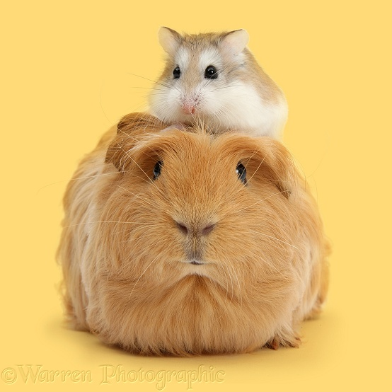Ginger Guinea pig and Roborovski Hamster, white background
