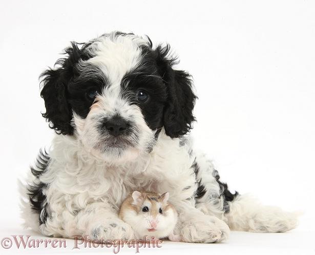 Pets Cute Cavapoo Puppy And Roborovski Hamster Photo Wp39176