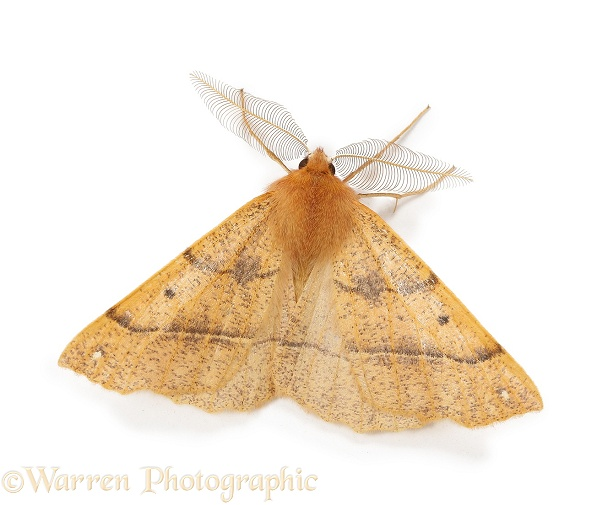 Feathered Thorn Moth (Colotois pennaria) male showing antennae, white background