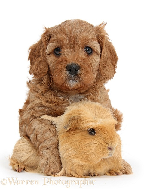 Cute red Cavapoo puppy, 5 weeks old, hugging a ginger Guinea pig, white background
