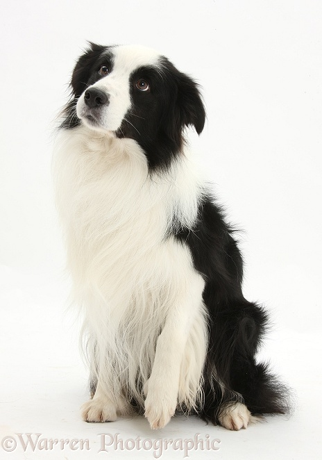 Black-and-white Border Collie stud dog, Ben, sitting and looking up with a slightly raised paw, white background